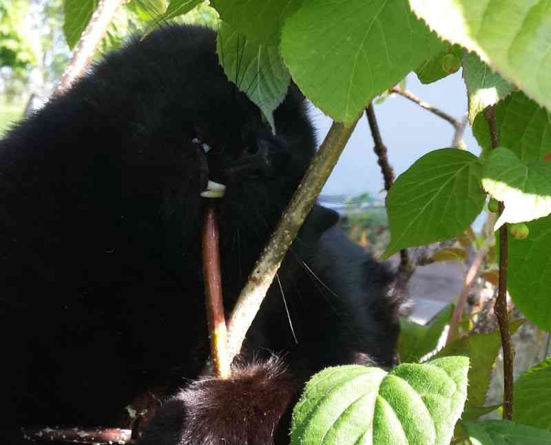 Kat tygger på kiwiplante