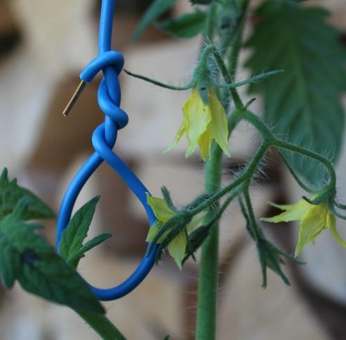 Tomatplante og løkke af installationsledning