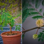 Leucaena leucocephala, et alternativt Bonsai træ