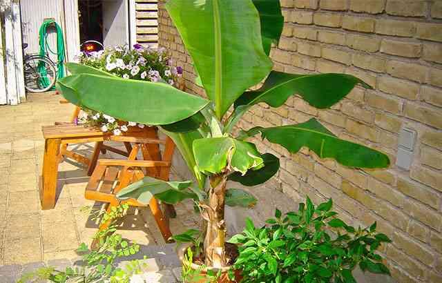 Ubrugte Bananpalme som stueplante: Sådan passer du den IB-91