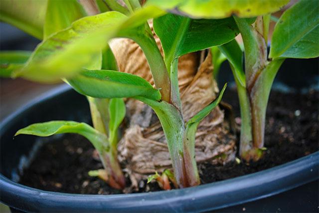 bananpalmer i danmark