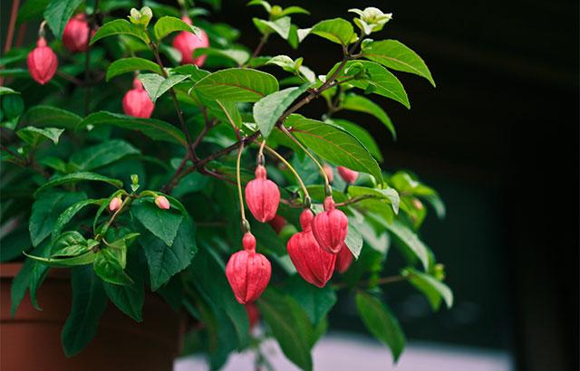 blomsterknopper fuchsia