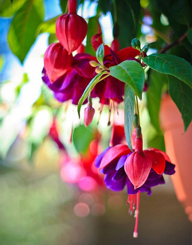 smuk fuchsia plante med blomster