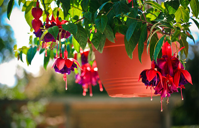 Hængefuchsia i lilla og rosa