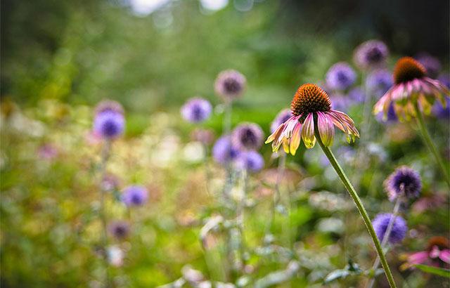 purpursolhat echinacea purpurea