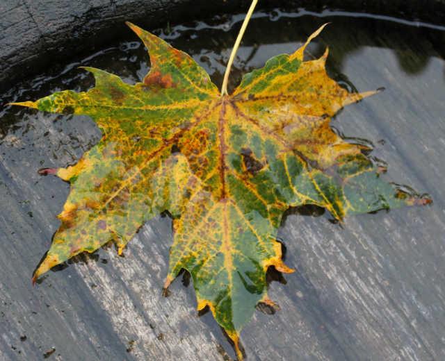 Blad fra Kugleahorn - efterårsfarver