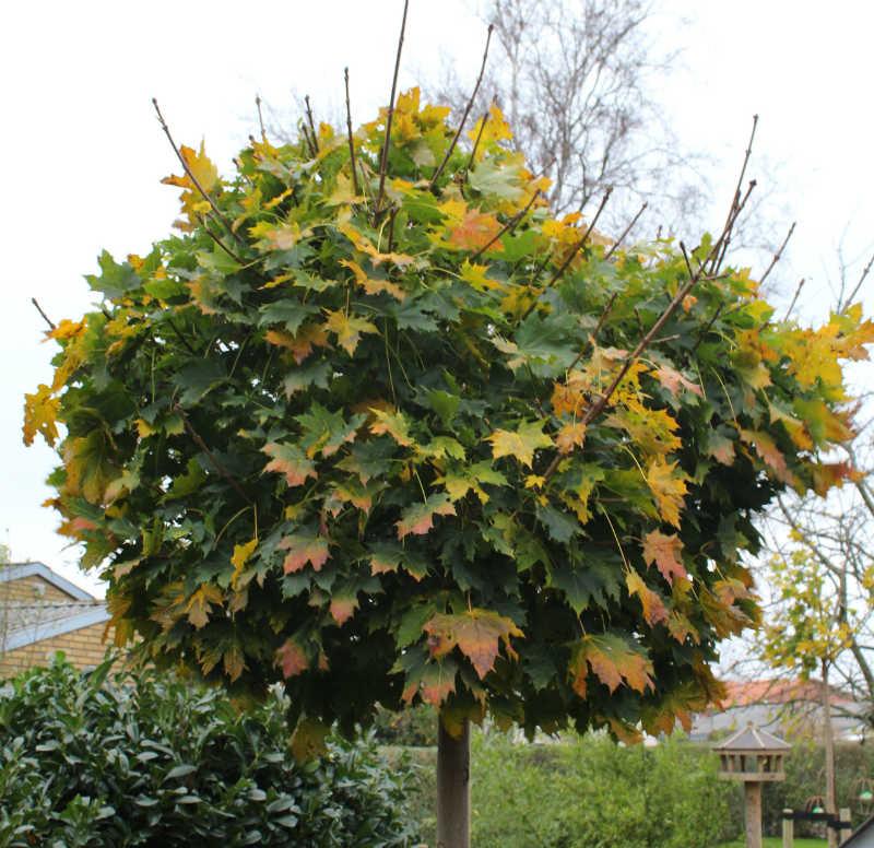Kugleahorn med efterårs farver