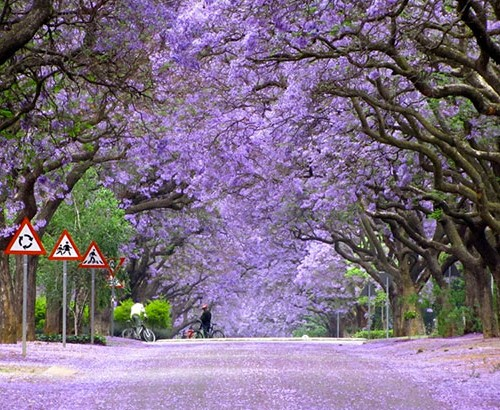 jacaranda træer lilla