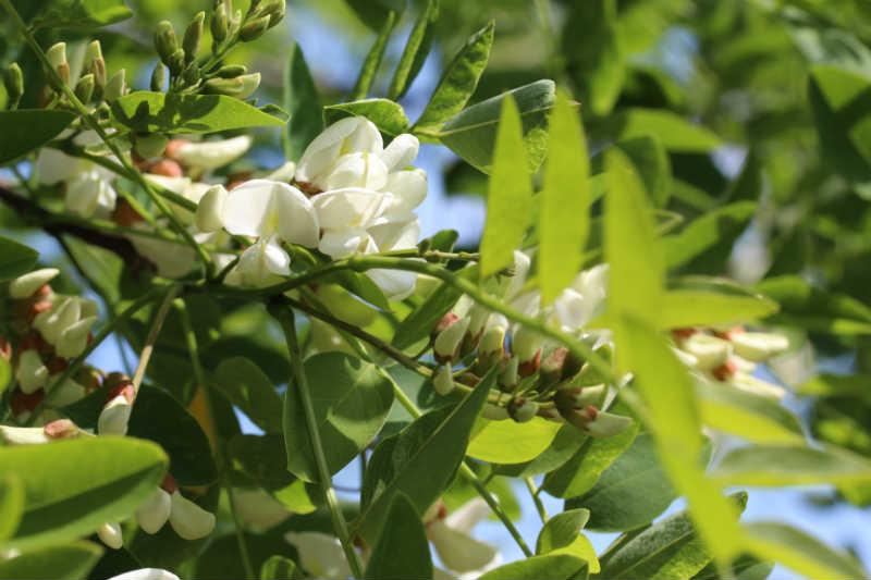 Robinia blade og blomster
