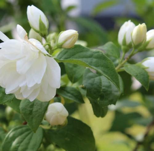 Falsk Jasmin, blomst og knopper