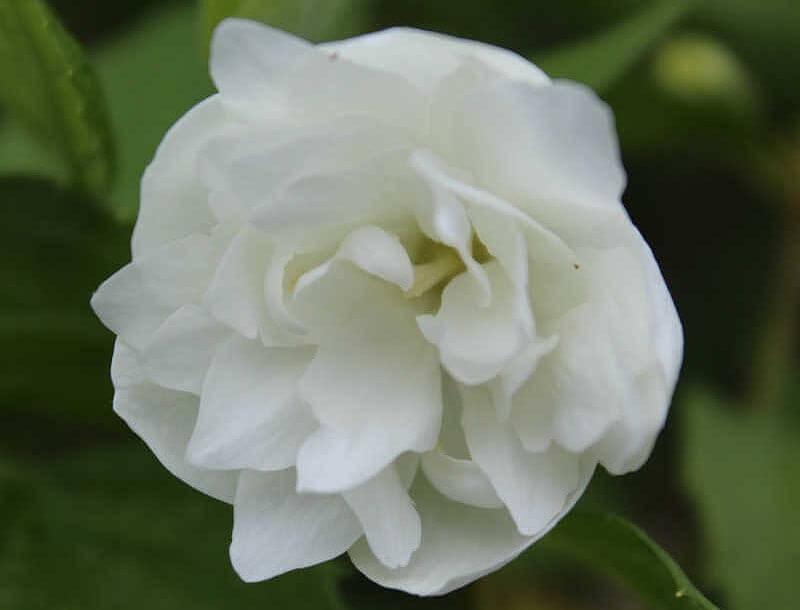 Blomsten på en uægte jasmin