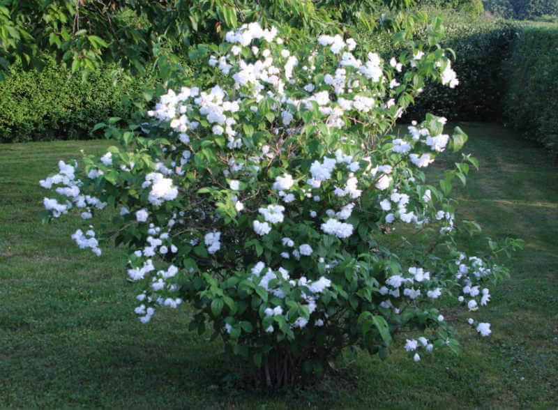 En Uægte Jasmin i fuldt flor