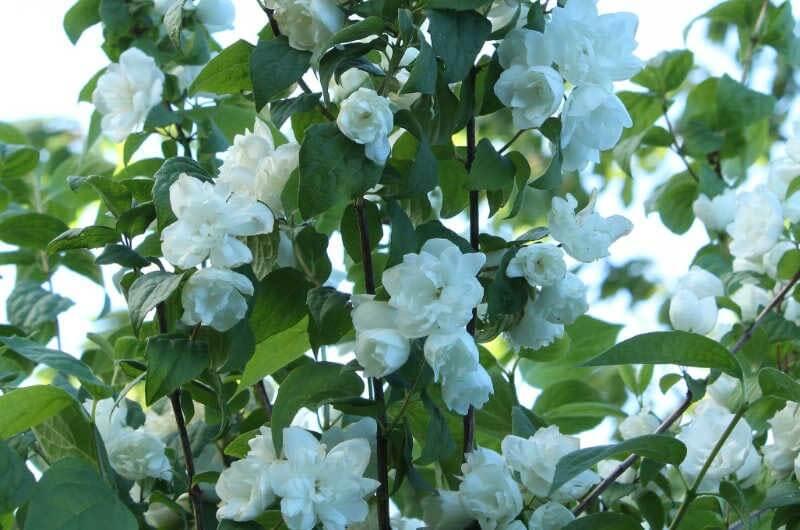 Blomster på uægte jasmin