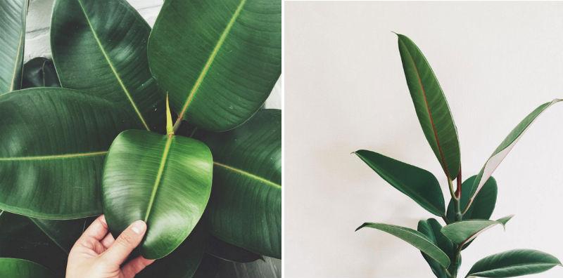 gummifigen er en trendy stueplante