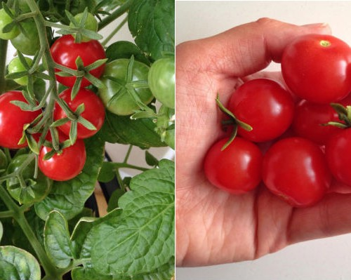 minibel tomatplante