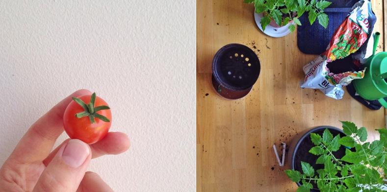 tomater i potter