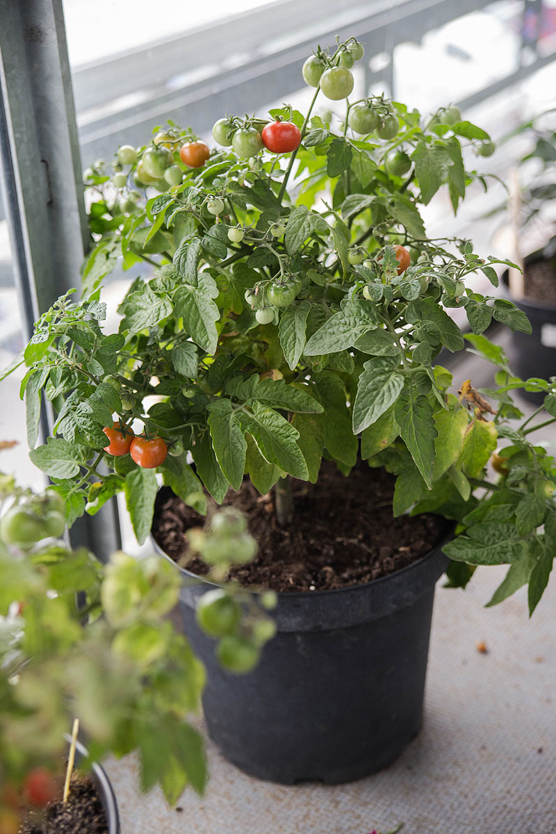 voksen minibel tomatplante