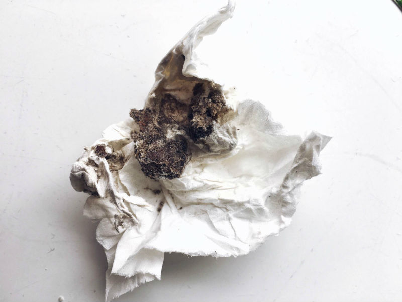 oxalis triangularis knolde fra ebay