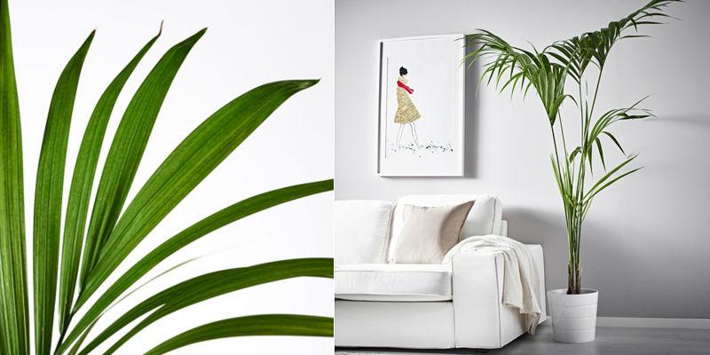 howea forsteriana kentiapalme have siden. Black Bedroom Furniture Sets. Home Design Ideas
