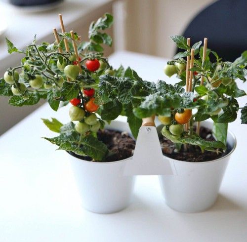kitchen minis tomatplanter