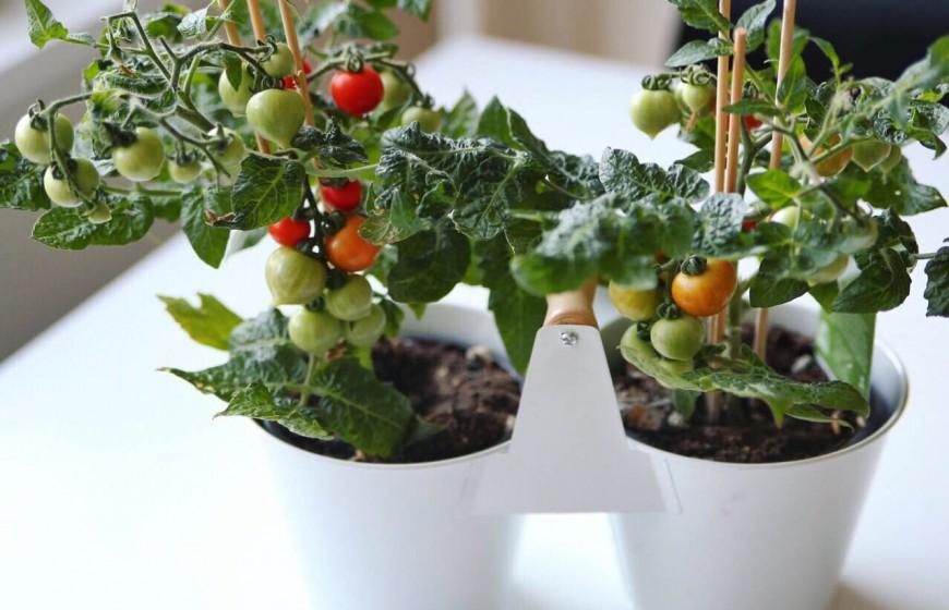 kitchen minis tomatplanter