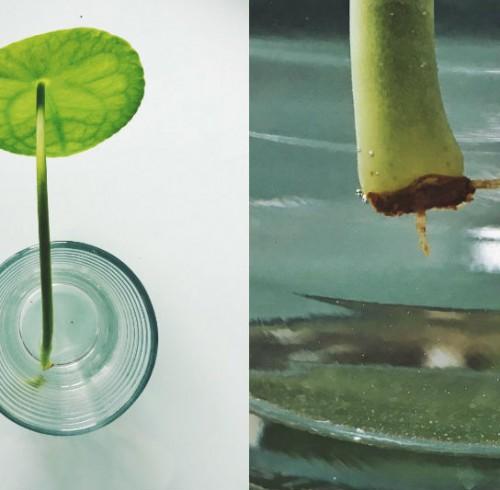 pilea peperomioides blad med rod
