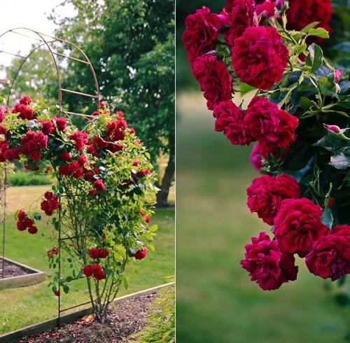flot klatrerose Rose Poulcy014