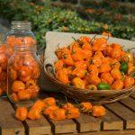 Habanero Orange, stærk chili med en frugtig smag