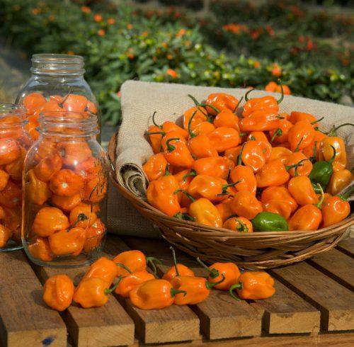 habanero orange frugter