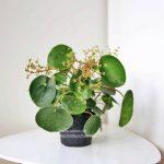Mysteriet om de blomstrende Pilea Peperomioides