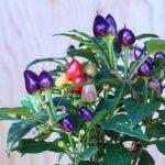 Aurora chili, lille & farverig