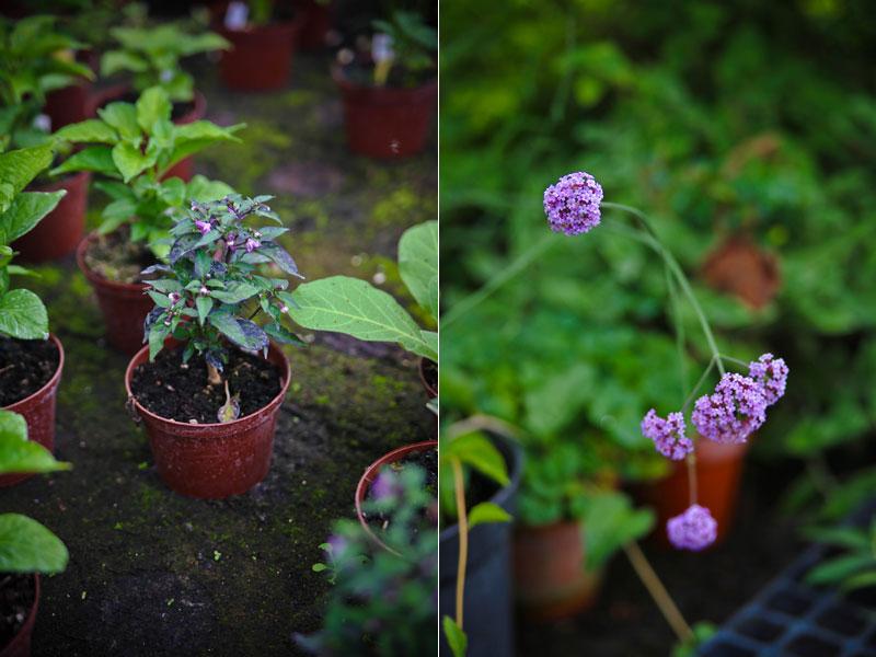 pretty in purple chili hos grennessminde