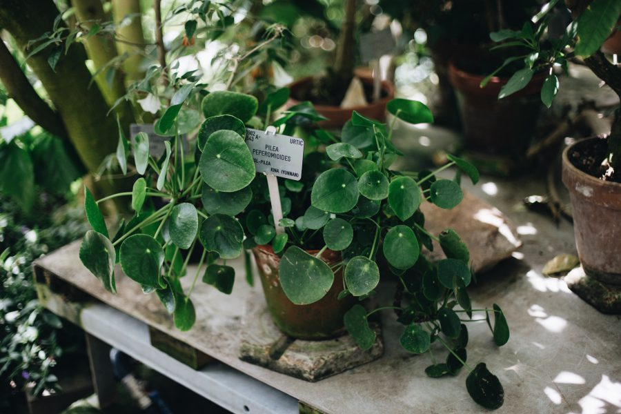 Den ultimative guide til Pilea Peperomioides
