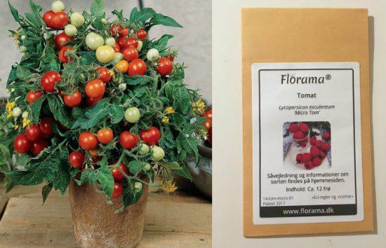 Micro Tom tomatplante