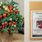 Micro Tom, en af verdens mindste tomatplanter