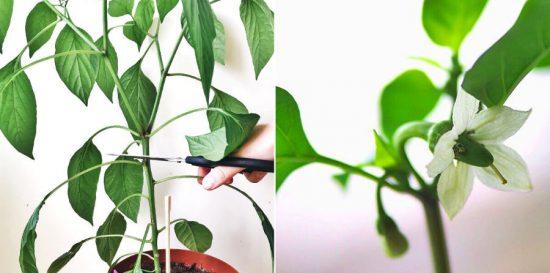 Undgå ranglede chiliplanter
