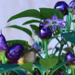 Pretty in Purple chili