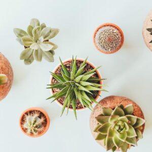 Guide til kaktus