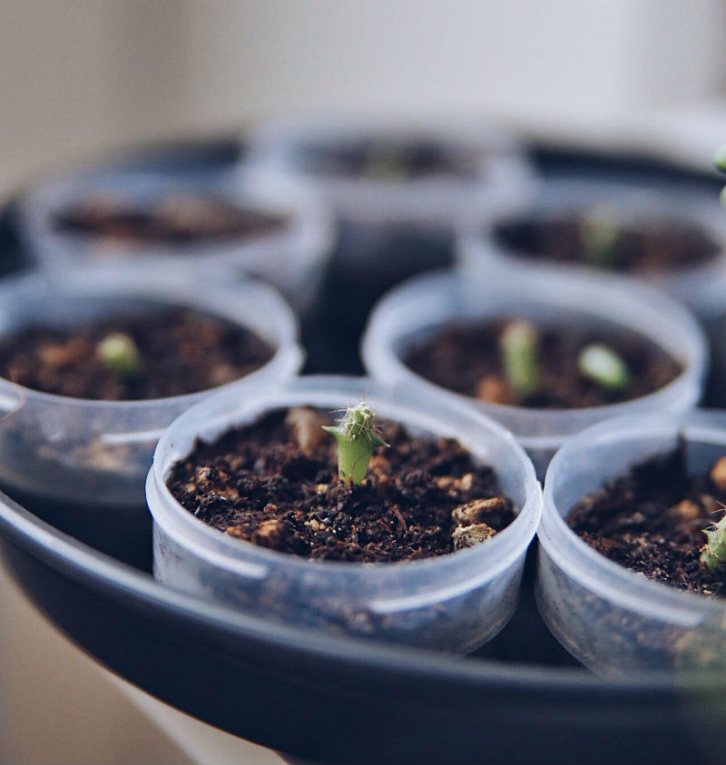 Små kaktusser, sået fra frø