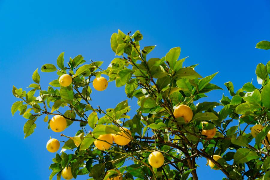 Guide til dyrkning af citrontræer