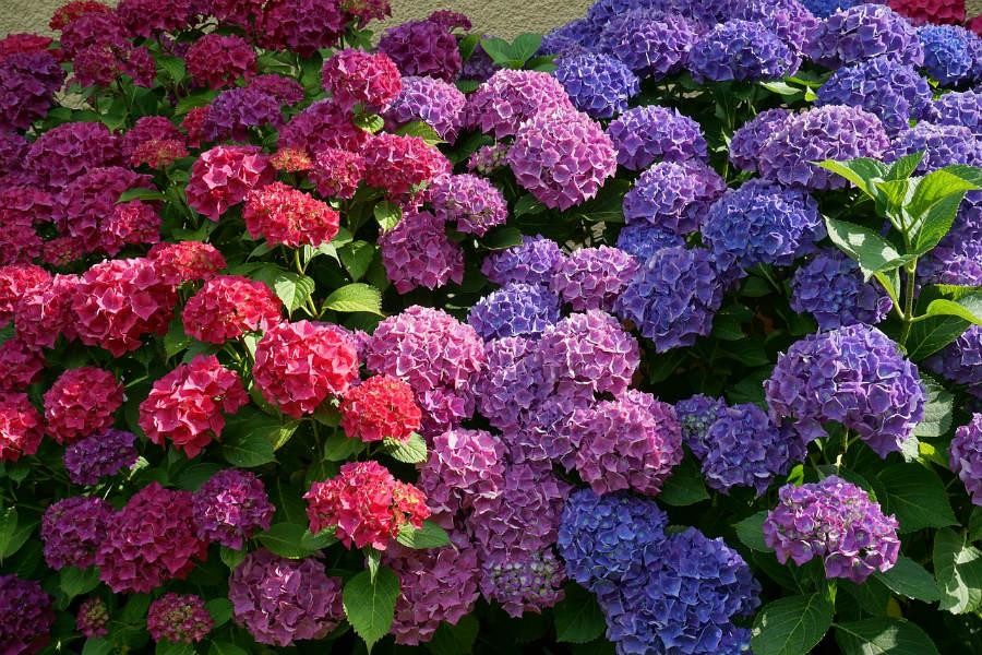 Farver på Hortensiaer