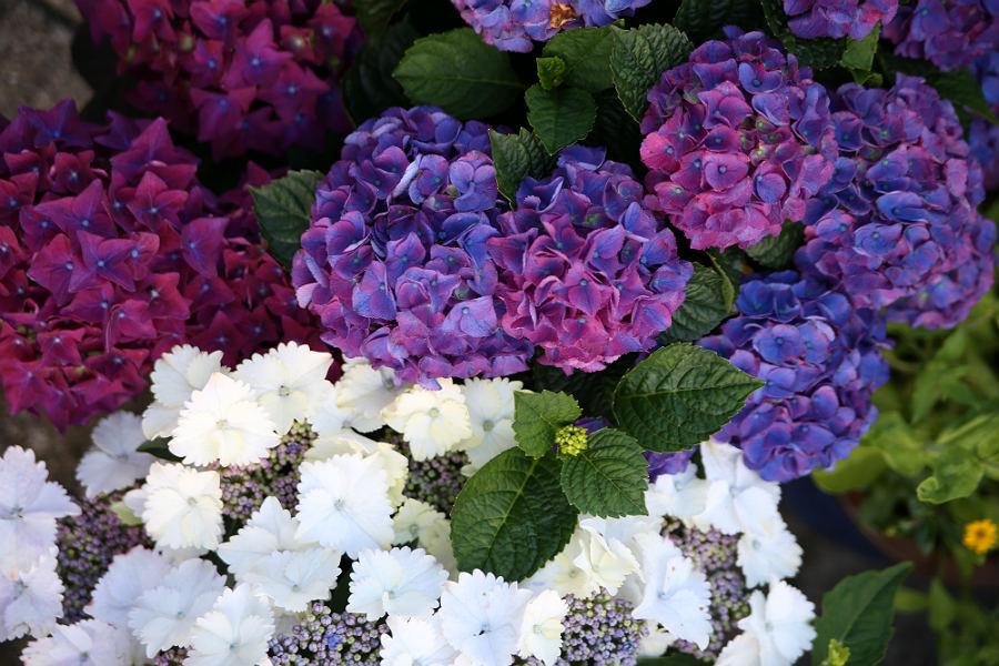 Lilla og hvide hortensiaer