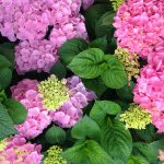 Den store guide til at dyrke Hortensia