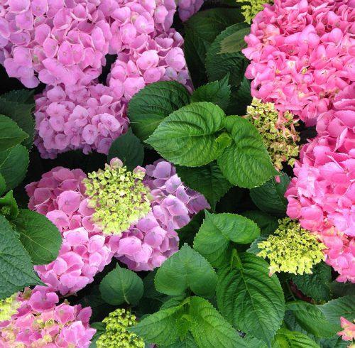 Lyserøde og lilla Hortensia