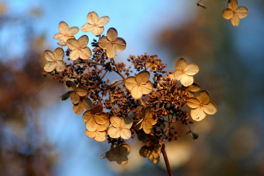 Visnet blomst på Hortensia