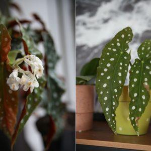 Begonia Maculata, planen med polkaprikker på bladene