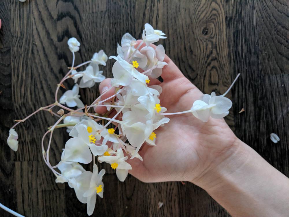 Hvide blomster på torskebegonia