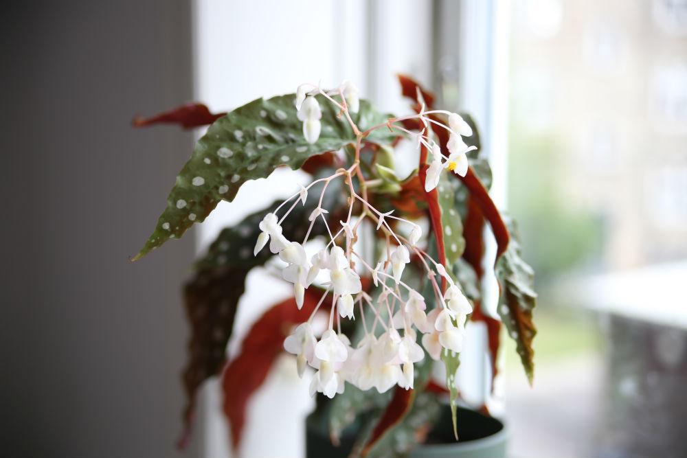 Blomster på Begonia Maculata