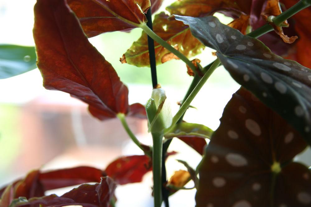 Formering af Begonia Maculata