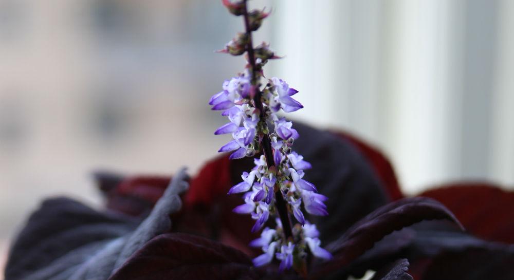 Blå blomsterstand på Paletblad
